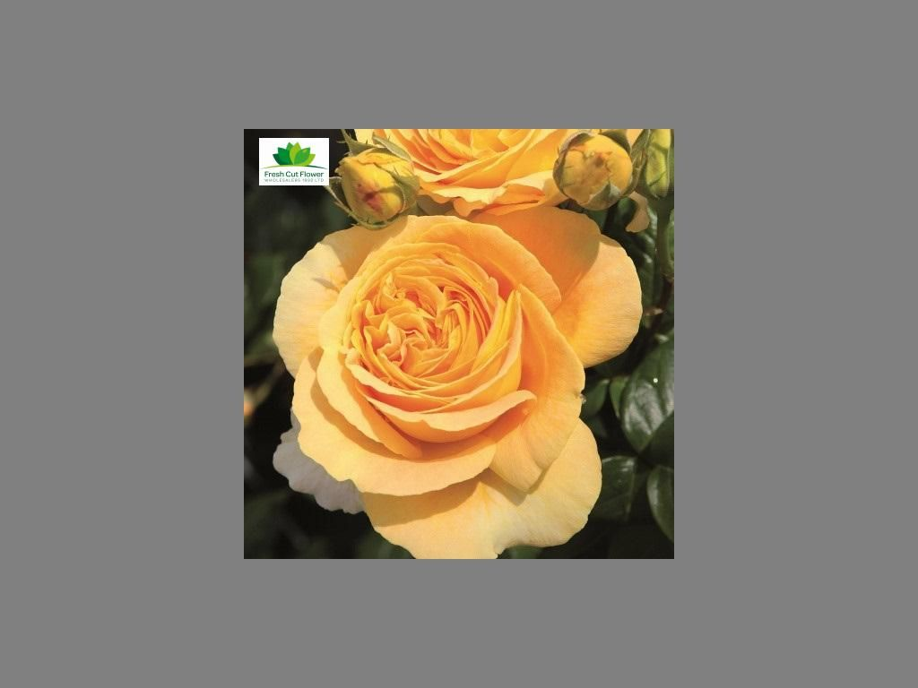 Colombian Garden Rose - Candlelight