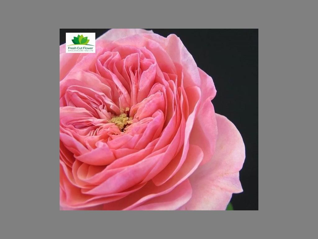 Colombian Garden Rose - Maria Theresa