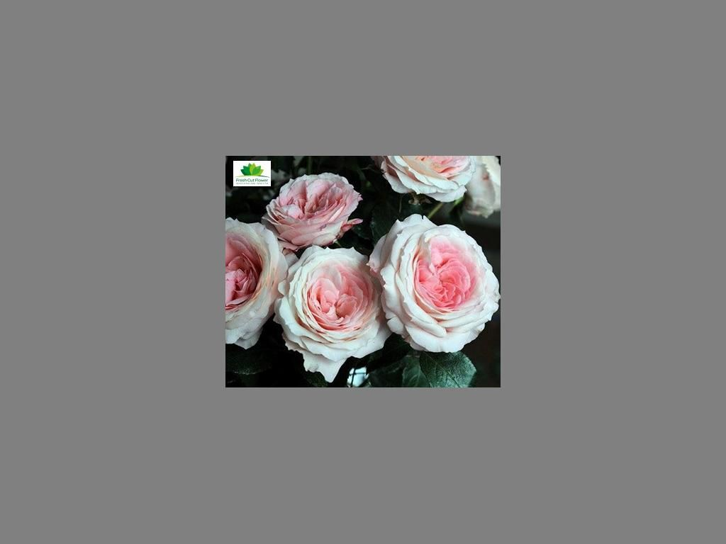 Colombian Garden Rose - Myra's Bridal Pink