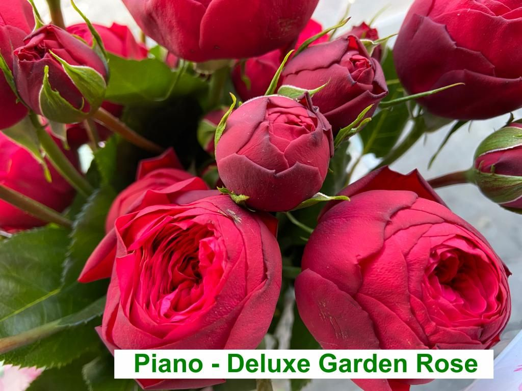 Colombian Garden Rose - Piano