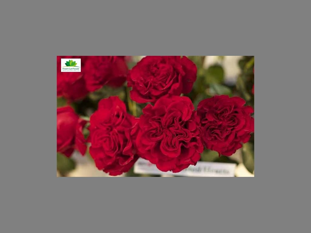 Colombian Garden Rose - Wanted