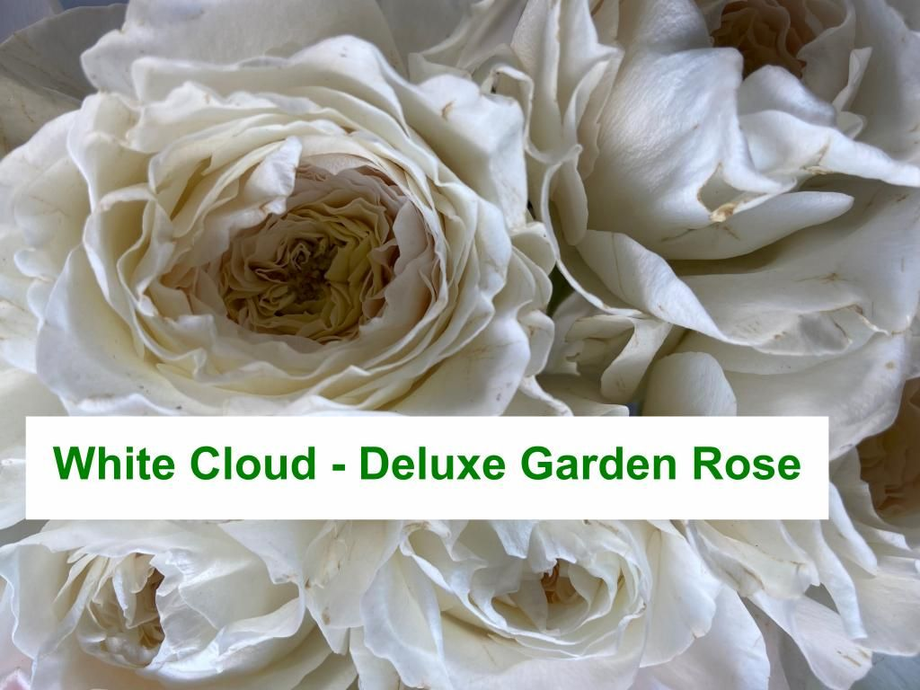 Colombian Garden Rose - White Cloud