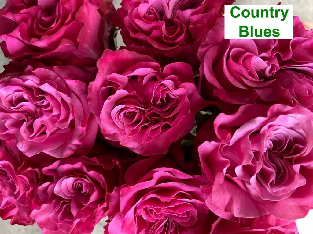 Colombian Garden Rose - Country Blues