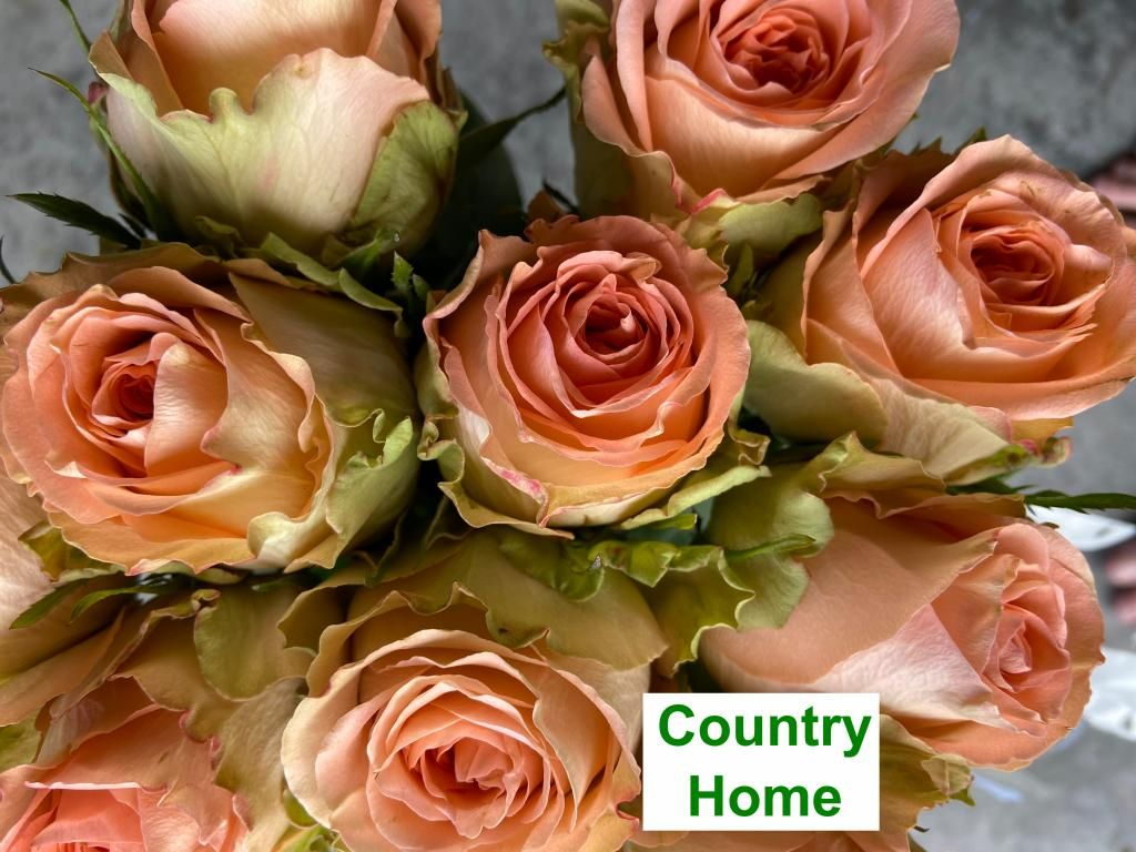 Colombian Garden Rose - Country Home