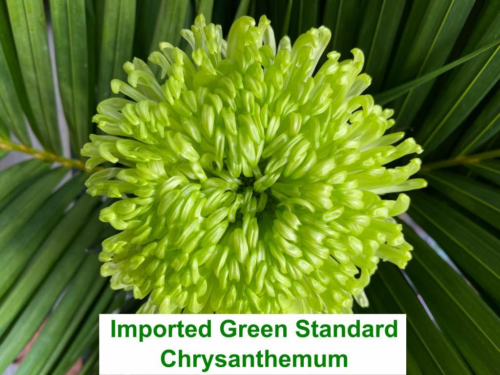 Imported Green Standard Chrysanthemum