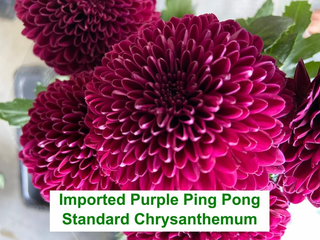 Imported Purple Ping Pong Standard Chrysanthemum
