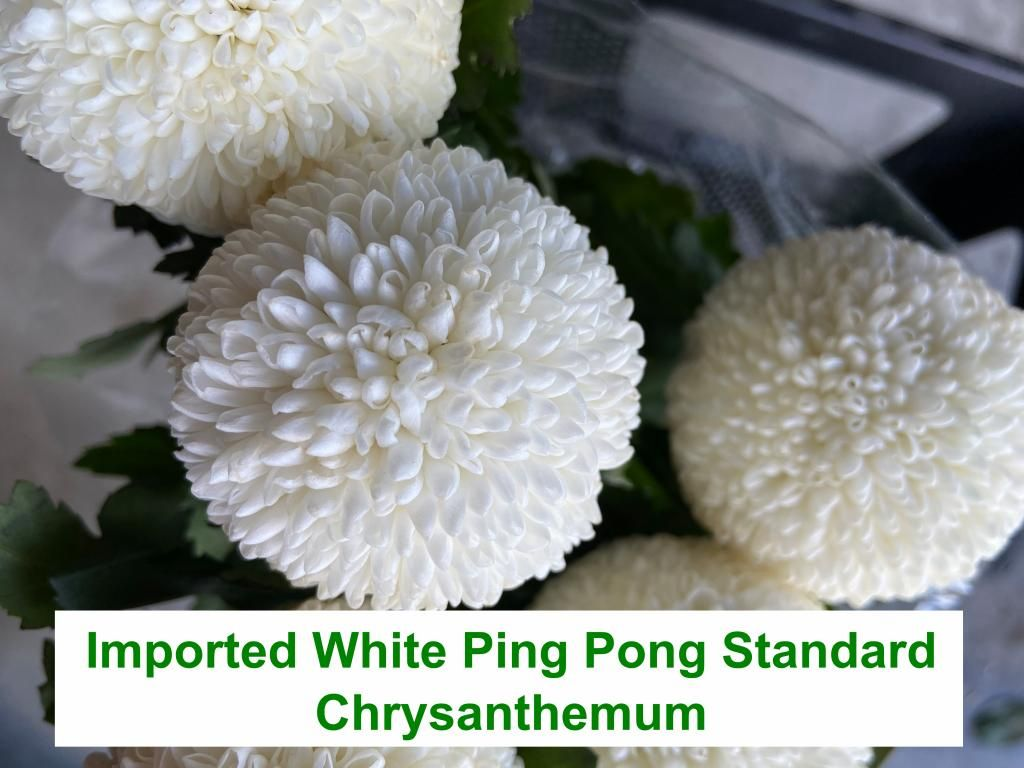 Imported White Ping Pong Standard Chrysanthemum