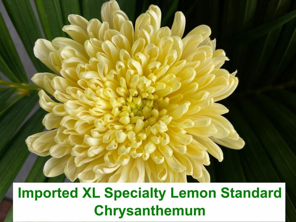 Imported XL Specialty Lemon Standard Chrysanthemum