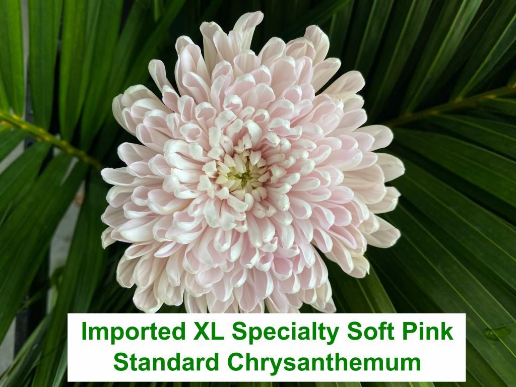 Imported XL Specialty Soft Pink Standard Chrysanthemum