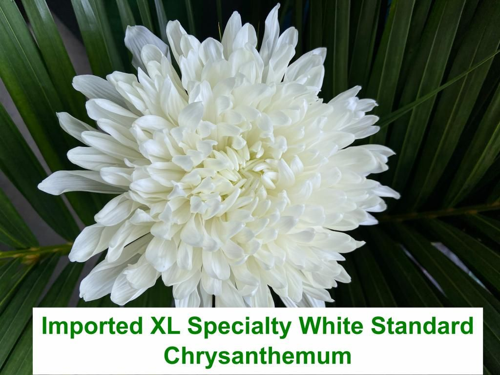 Imported XL Specialty White Standard Chrysanthemum