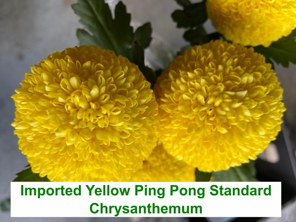 Imported Yellow Ping Pong Standard Chrysanthemum