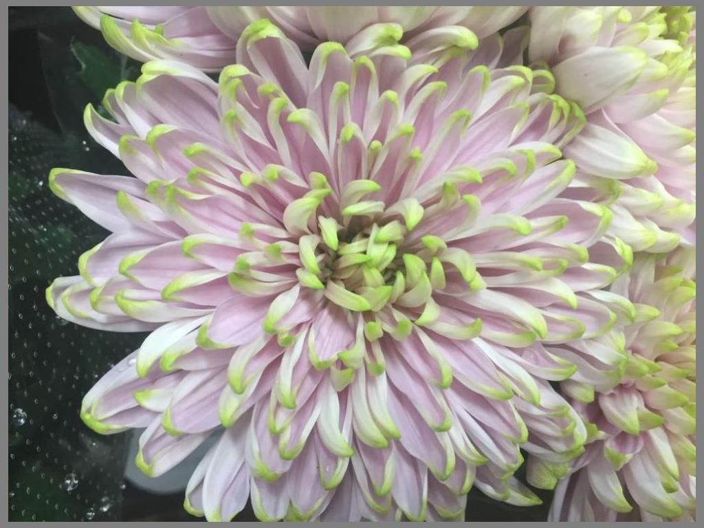 Imported Pink with Green Tip Standard Chrysanthemum